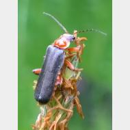 Cantharidae Cantharis pellucida