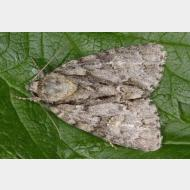 Acronictinae Acronicta strigosa